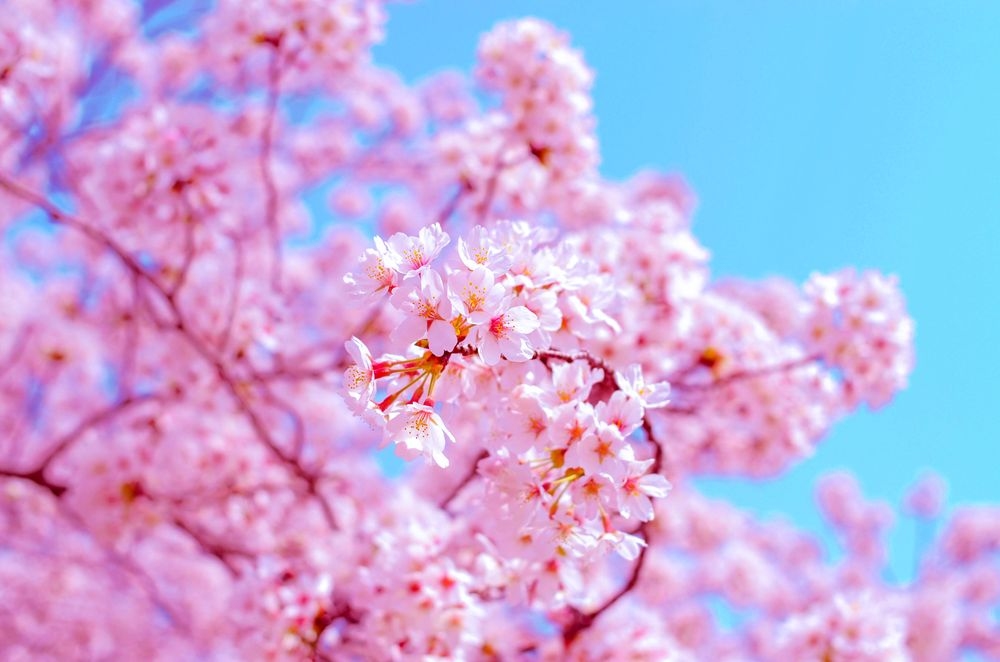 Cherry blossoms with pink petals bloom on branches beneath a clear blue sky