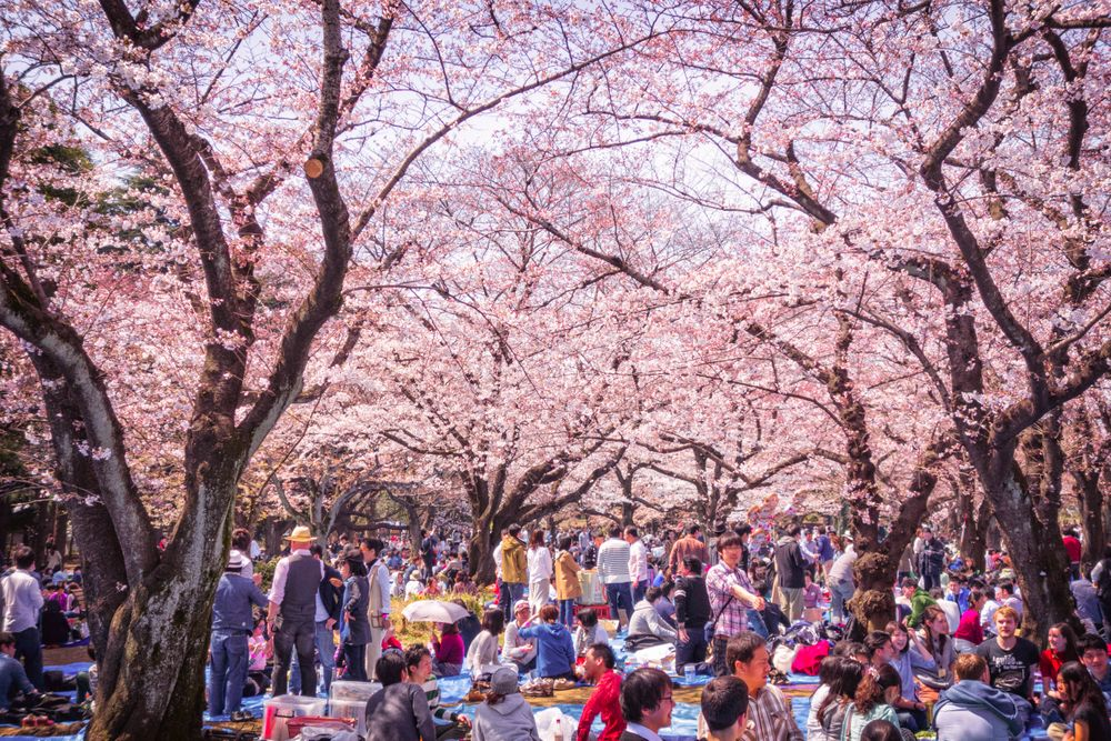 Crowds of people gather beneath cherry blossom trees with pink flowers, eating, drinking, talking, sitting, standing, and in general celebrating hanami