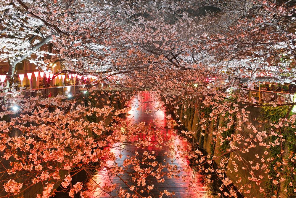 A river or waterway overhung with cherry blossom trees illuminated with night lights for Japanese yozakura, or night hanami