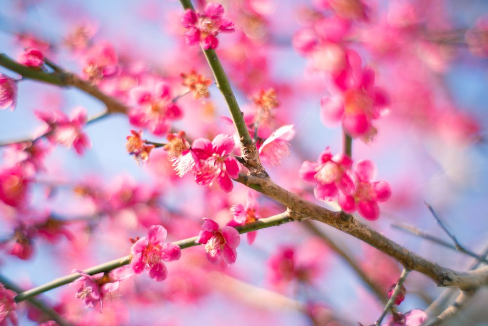 Pink flowers of plum blossoms bloom on brown branches