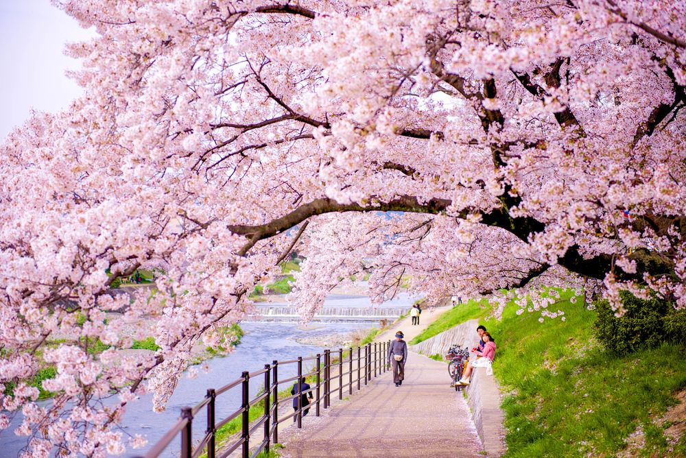 People walk along a path overhung by a cherry blossom tree with pink flowers