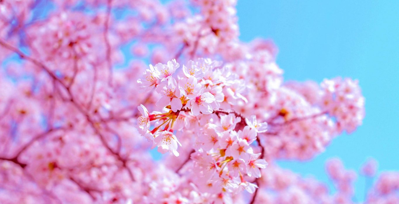 An image of cherry blossoms or sakura, used as a featured image for the article