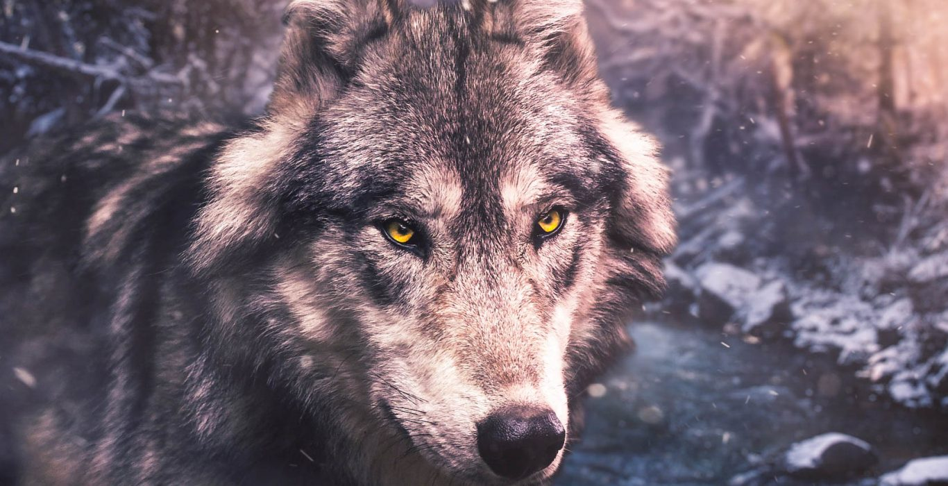 White Fang by Jack London: A Book Overview and Review | phmillennia.com | Featured Image by Ihaksi on Pixabay (modified)