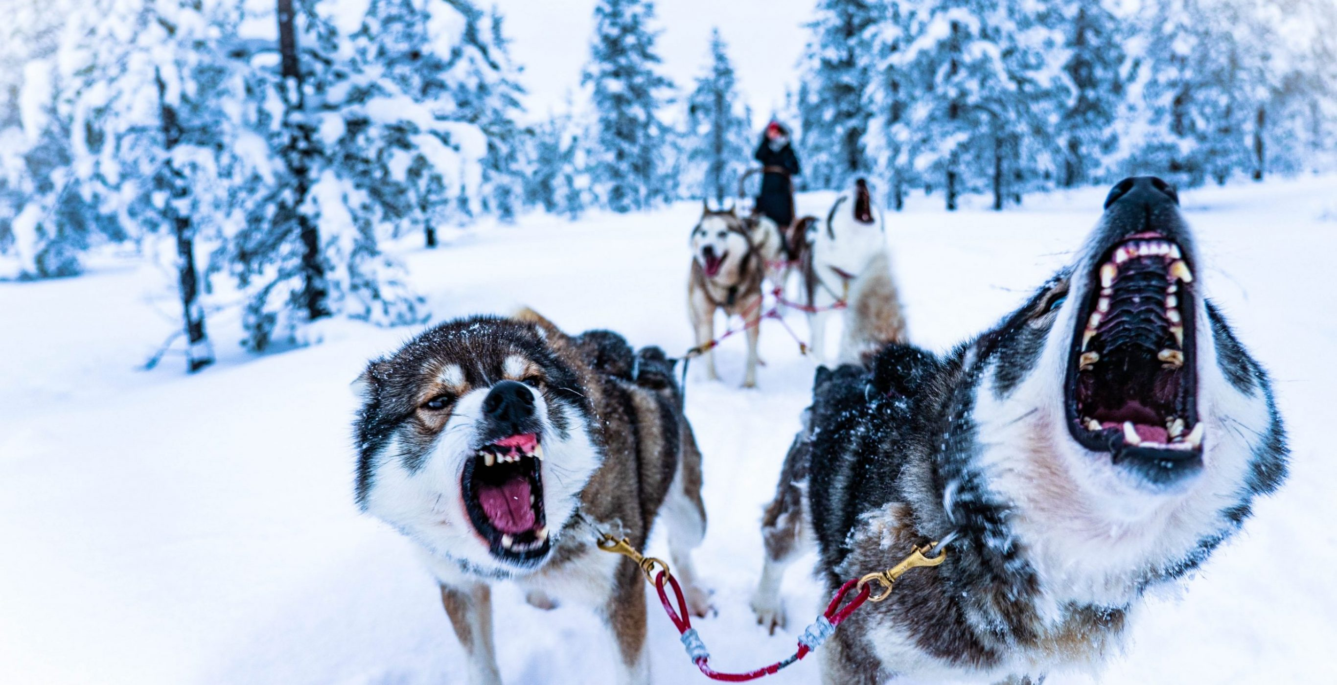 Dogs pulling a sled in a snow-laden pine-clad landscape, used as a featured image for the article